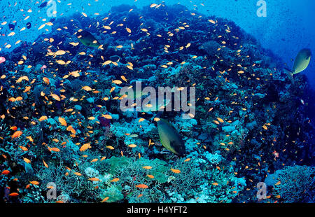 Coral reef with surgeonfish (Acanthurus mata) and lyretail coralfish or goldfish (Pseudanthias squamipinnis), Marsa - Stock Photo