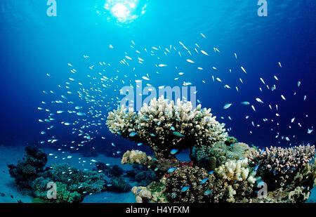 Corals and Green Chromis or Damselfish (Chromis viridis), Nuweiba, Sinai, Red Sea, Egypt, Africa - Stock Photo