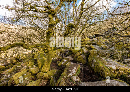 Ancient oaks in Wistmans Wood, Dartmoor National Park, Devon, United Kingdom - Stock Photo