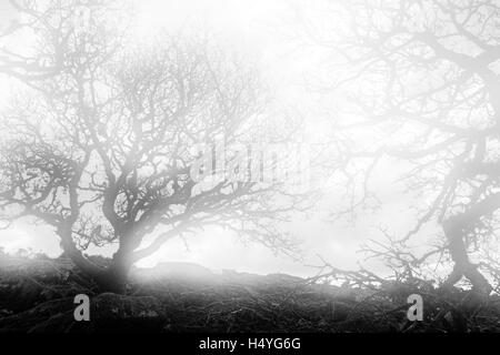 Ancient oaks in the fog in Wistmans Wood, Dartmoor National Park, Devon, United Kingdom, monochrome - Stock Photo