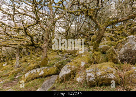 Ancient oaks in Wistmans Wood, Dartmoor National Park, Devon, Great Britain - Stock Photo