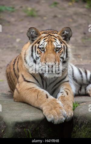 One-year-old Siberian tiger (Panthera tigris altaica) called Aljoscha at Nuremberg Zoo in Nuremberg, Bavaria, Germany. - Stock Photo