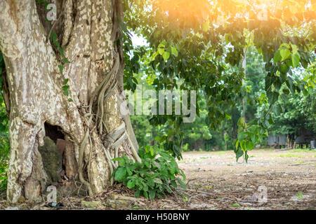 Bodhi tree in Asia. - Stock Photo