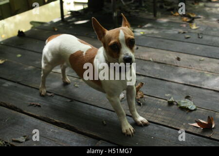 Stretching chihuahua dog on outdoor floorboards brown and white in colour with a collar - Stock Photo