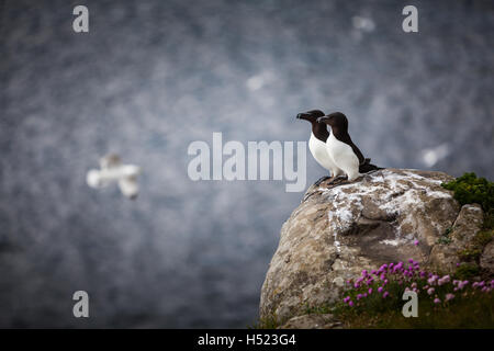 A beautiful pair of nesting razorbill seabirds perched on the edge of the high cliffs at Dunstanburgh Castle on - Stock Photo