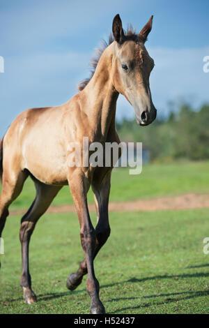 running purebred akhalteke foal in the field - Stock Photo