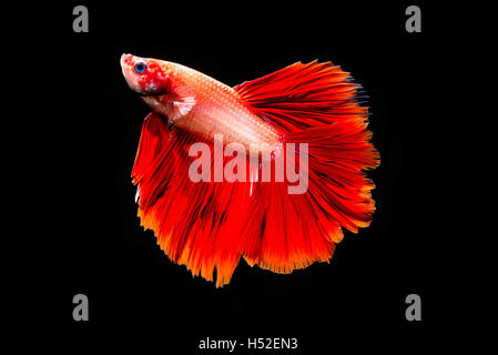 Red Betta Fish isolated black background - Stock Photo