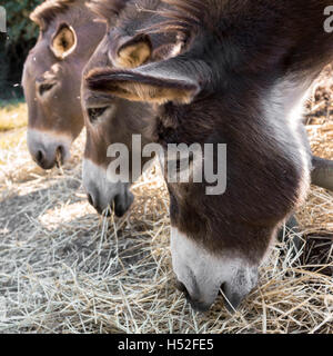 Three donkeys eating hay from the trough - Stock Photo