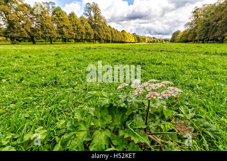 Cow Parsley amongst the grassy meadow in between two avenues of lime trees at Marbury Country Park - Stock Photo