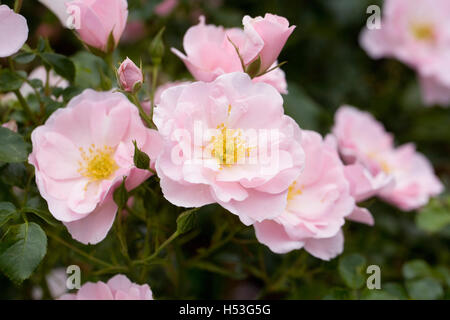 Rosa 'Poulshine' flowers. Pale pink shrub rose in an English garden. - Stock Photo