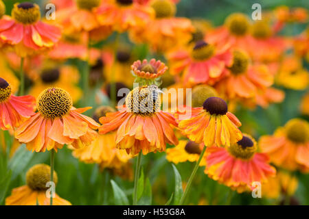 Helenium 'Sahin's Early Flowerer'. Sneezeweed flowers in an herbaceous border. - Stock Photo