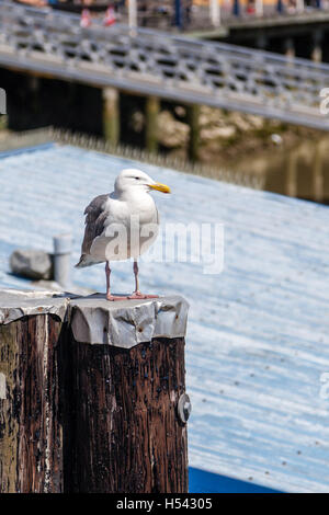 A Western Herring Gull (Larus occidentalis) standing atop a dock post looking for food. This seagull species is - Stock Photo