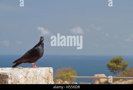 pigeon perched on a stone with sea in the background - Stock Photo