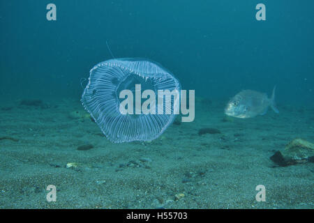 Jellyfish above sandy bottom while young snapper approaching - Stock Photo