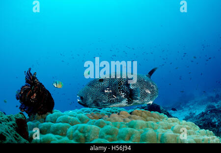 Map puffer (Arothron mappa) on Pore Coral, Komodo, Indo-Pacific, Indonesia - Stock Photo