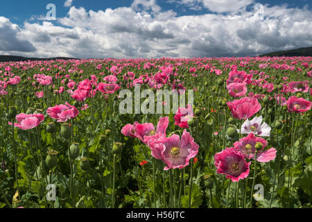 Opium poppy (Papaver somniferum), growing on a field, cloudy sky, Germerode, Hesse, Germany - Stock Photo