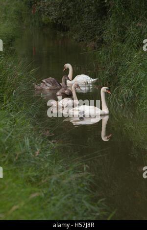 Mute Swans (Cygnus olor). Family unit. Broadland drainage dyke. Norfolk. Juveniles estimated 16 weeks old. - Stock Photo