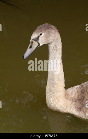 Mute Swan (Cygnus olor), cygnet on a Norfolk drainage dyke. Will moult out to become a 'normal' white adult. 16 - Stock Photo