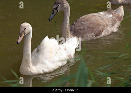 """Mute Swan (Cygnus olor). Sixteen weeks old juvenile cygnets.""""Leucistic"""", whitish or Polish colour form front left, - Stock Photo"""