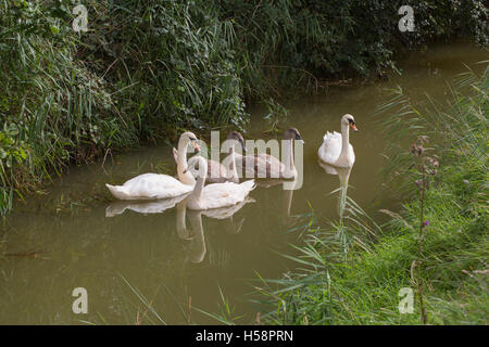 Mute Swan (Cygnus olor) family. Second bird left is one of a surviving brood of three, and is of the Polish phase; - Stock Photo