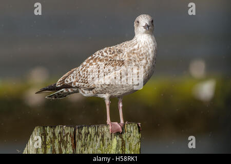 Portrait of a young herring gull (Larus argentatus) at Bogside Flats SSSI, Irvine, Scotland, UK - Stock Photo