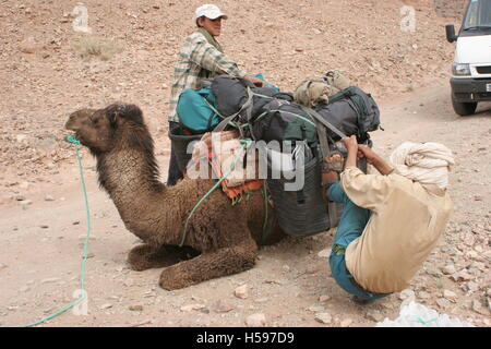 Two local guides secure a load onto a seated camels during a trek through the Sahara Desert in Southern Morocco - Stock Photo