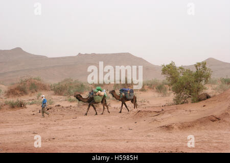 A local tribesman leads two loaded camels through the Sahara Desert in Southern Morocco - Stock Photo