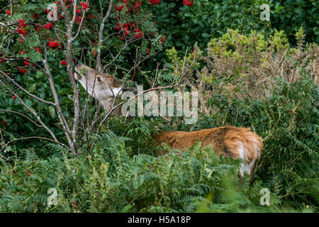 Red deer hind (Cervus elaphus) feeding on rowan / mountain-ash (Sorbus aucuparia) in brushwood at forest's edge - Stock Photo