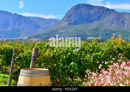 Holden Manz vineyard franschhoek ,on the  Franschhoek Wine Route  tour South Africa's Western Cape South Africa - Stock Photo