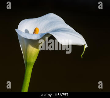 Zantedeschia aethiopica (known as calla lily and arum lily) is a species in the family Araceae, native to southern - Stock Photo