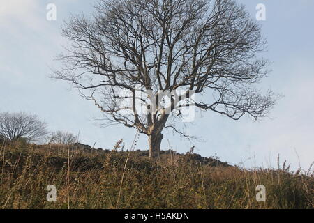 single tree, standing alone on the side of the Malvern hills - Stock Photo