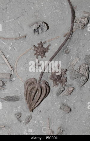 Fossil Crinoids, 350 million years old from the early Carboniferous Period, Indiana - Stock Photo