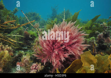 Bright colours of various sea weeds - Stock Photo