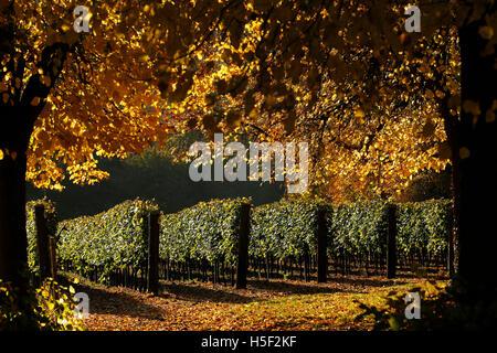 Hambledon Vineyard, Hampshire, UK. 19th October, 2016. Autumn sun shines through the golden leaves of trees and - Stock Photo