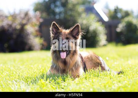 Beautiful dog german shepard outdoors on a lawn - Stock Photo