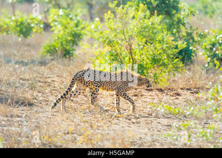 Majestic Cheetah in hunting position ready to run for an ambush. Kruger National Park, South Africa. - Stock Photo