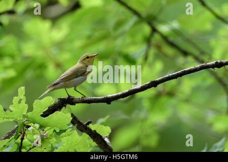 Wood Warbler / Waldlaubsaenger ( Phylloscopus sibilatrix ), male in breeding dress, perching on a branch, in its - Stock Photo