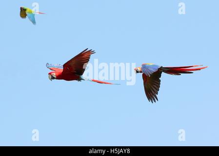Red-and-green (winged) Macaw (Ara chloropterus) & Scarlet Macaw (Ara macao) in flight - Military Macaw in background - Stock Photo