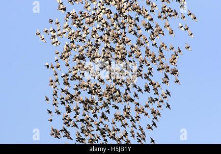 Large flock of European Starlings (Sturnus vulgaris) in frenzied flight, spooked by a bird of prey - Stock Photo