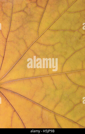 Fallen golden yellow maple leaf texture pattern autumn fall grunge vintage herbarium abstract background large detailed - Stock Photo