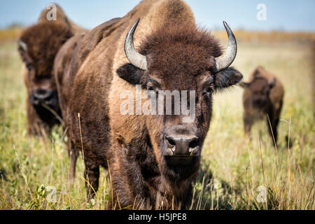 Plains Bison, (Bison bison bison) or American Buffalo, Riding Mountain National Park, Manitoba, Canada. - Stock Photo