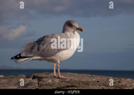 Common gull,  Larus canus, on a wall at Lyme Regis, Dorset - Stock Photo