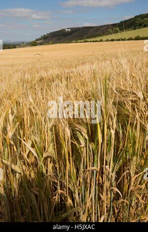UK, England, Wiltshire, Salisbury Plain Westbury, White horse on hillside above barley field - Stock Photo