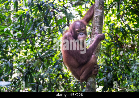 A thoughtful orang utan is seen on a tree in tropical rain forest - Stock Photo