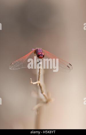 Dragonfly (Anisoptera), Hwange National Park, Zimbabwe, Africa - Stock Photo