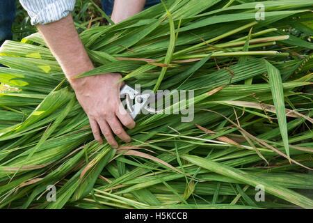 Gardener picking up cut back crocosmia lucifer plants after flowering. UK - Stock Photo