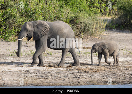 Mother and baby African elephants Loxodonta africana walking in line on the banks of the Chobe river - Stock Photo
