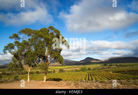 Scenic view over vineyards in the Robertson area of the Western Cape - Stock Photo