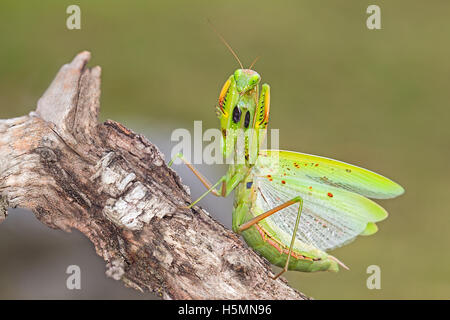European praying mantis in attacking position - Stock Photo