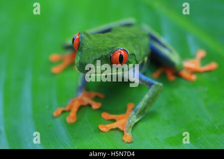 Red-eyed Tree Frog (Agalychnis callidryas) in caribbean rainforest. Tortuguero National Park, Costa Rica. - Stock Photo